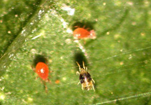Spider Mites and Persimilis